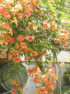 P7010247_convert_20130703131445夏の花