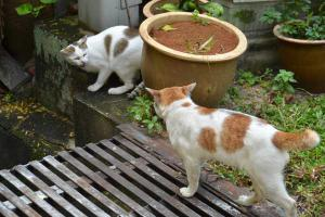 Singapore Cat Hearty & His Neighbor