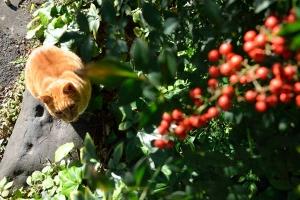 Ai-chan The Cat and Nandina Berries
