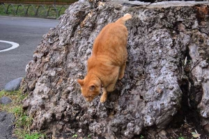Ai-chan The Cat Getting Down The Tree Stump