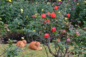 Cats and December Roses