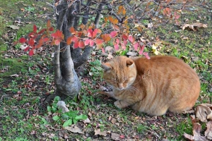 Cat and Red Leaves