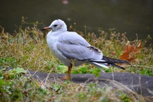 Black-headed Gull (The hood is lost in winter)