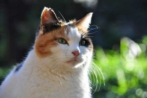 桜猫 三毛猫さくらちゃん Sakura-chan The Cat