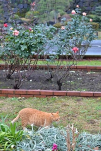 Cat in Rose Garden