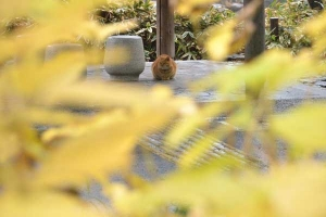 Cat, Ai-chan's Brother, Through Hydrangea Leaves