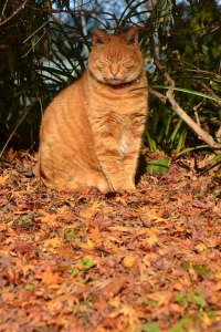 Ai-chan The Cat on Fallen Leaves