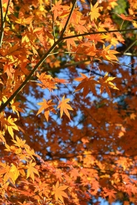 Momiji Maple Leaves