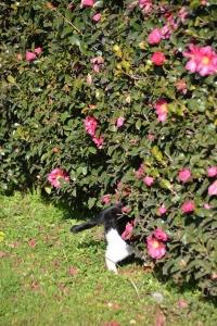 Cat and Sasanqua Hedge