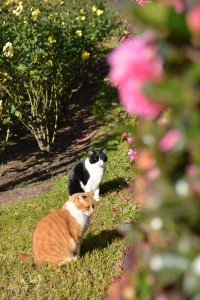 Cat Duo and Sasanqua Hedge