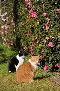 Cat Duo and Sasanqua Hedge
