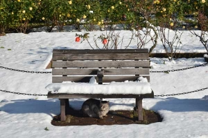 Cat, Snow Bench and Rose Garden
