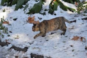 Cat Walking On Snow