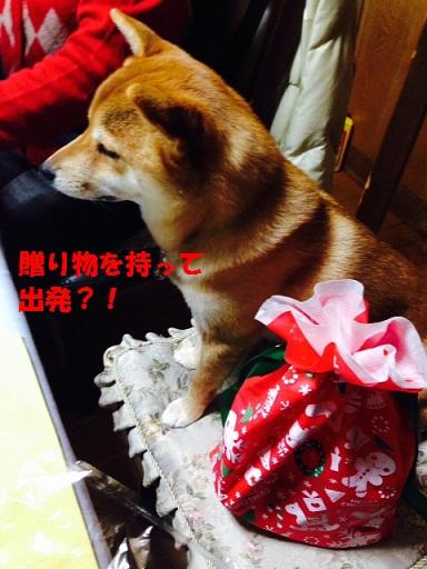 柴犬は赤色が良く似合います♪