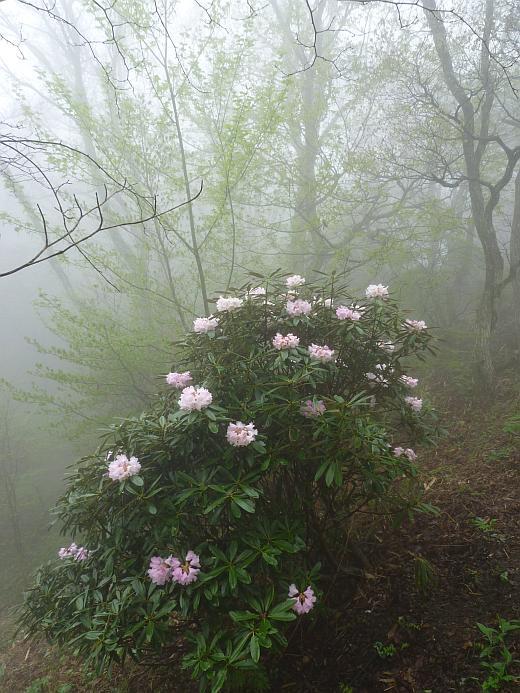 金剛山のシャクナゲ