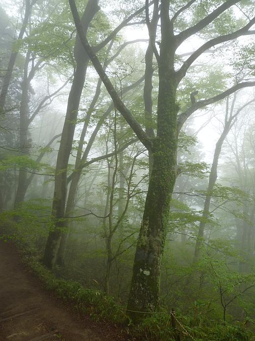 金剛山のブナ林