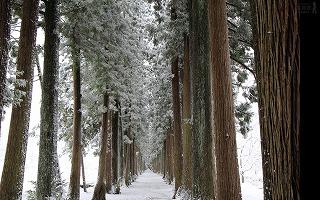 雪の杉並木