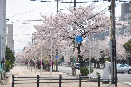 三滝通り桜