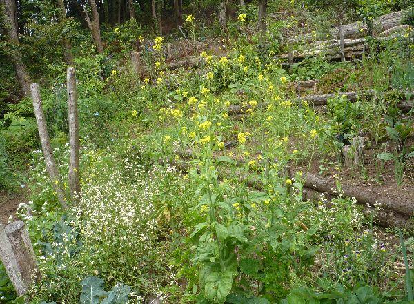菜の花上の段の畑