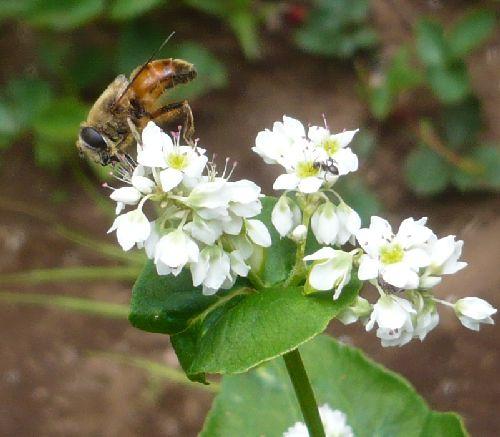 お蕎麦の花に蜂