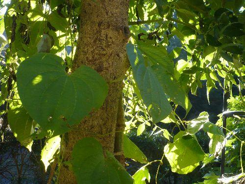 宇宙芋の葉