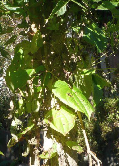 宇宙芋の葉1