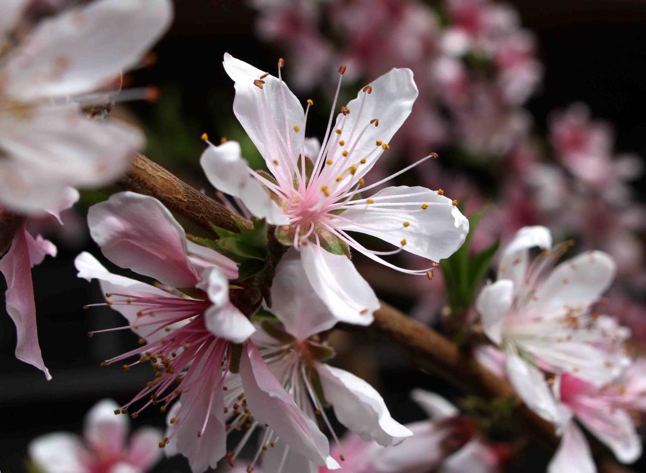 桃の花(3月23日)(1)