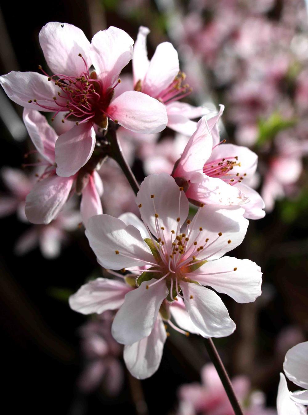 桃の花(3月23日)(2)