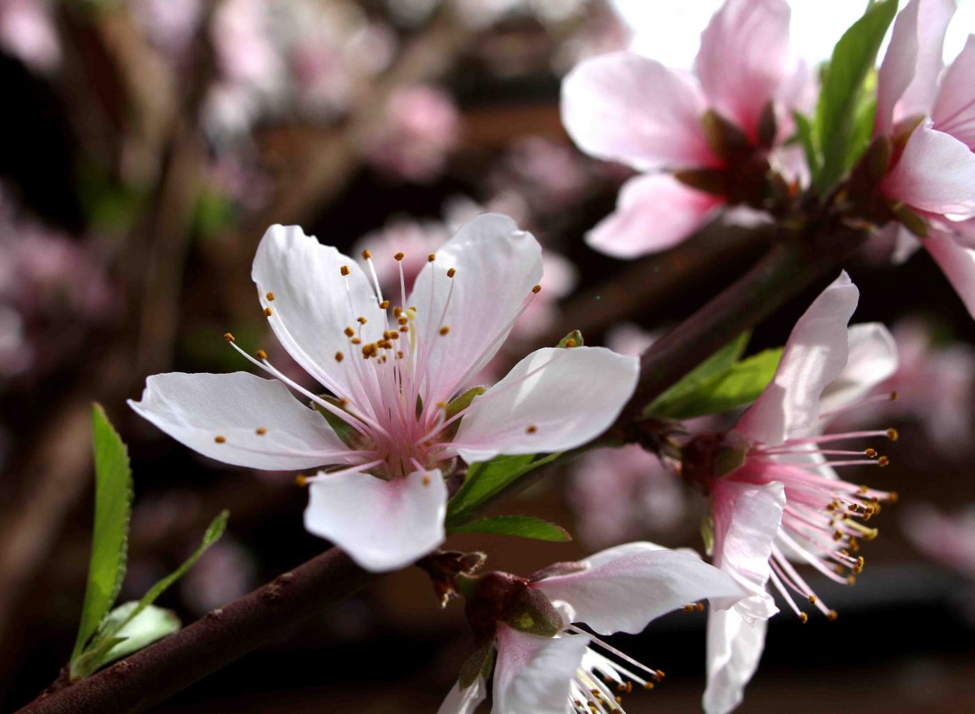 桃の花(3月23日)(3)