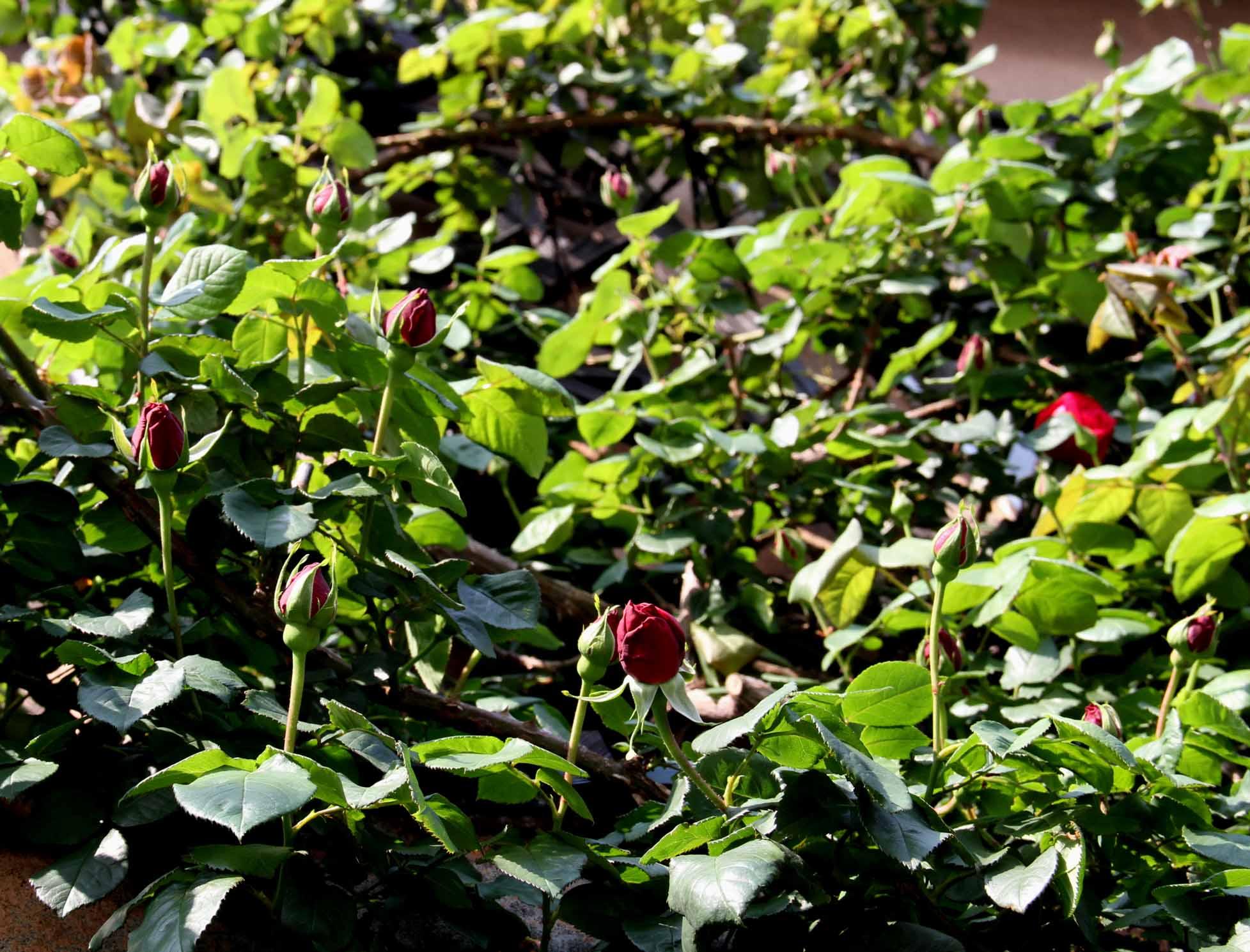 バラの花と蕾 0415(1)