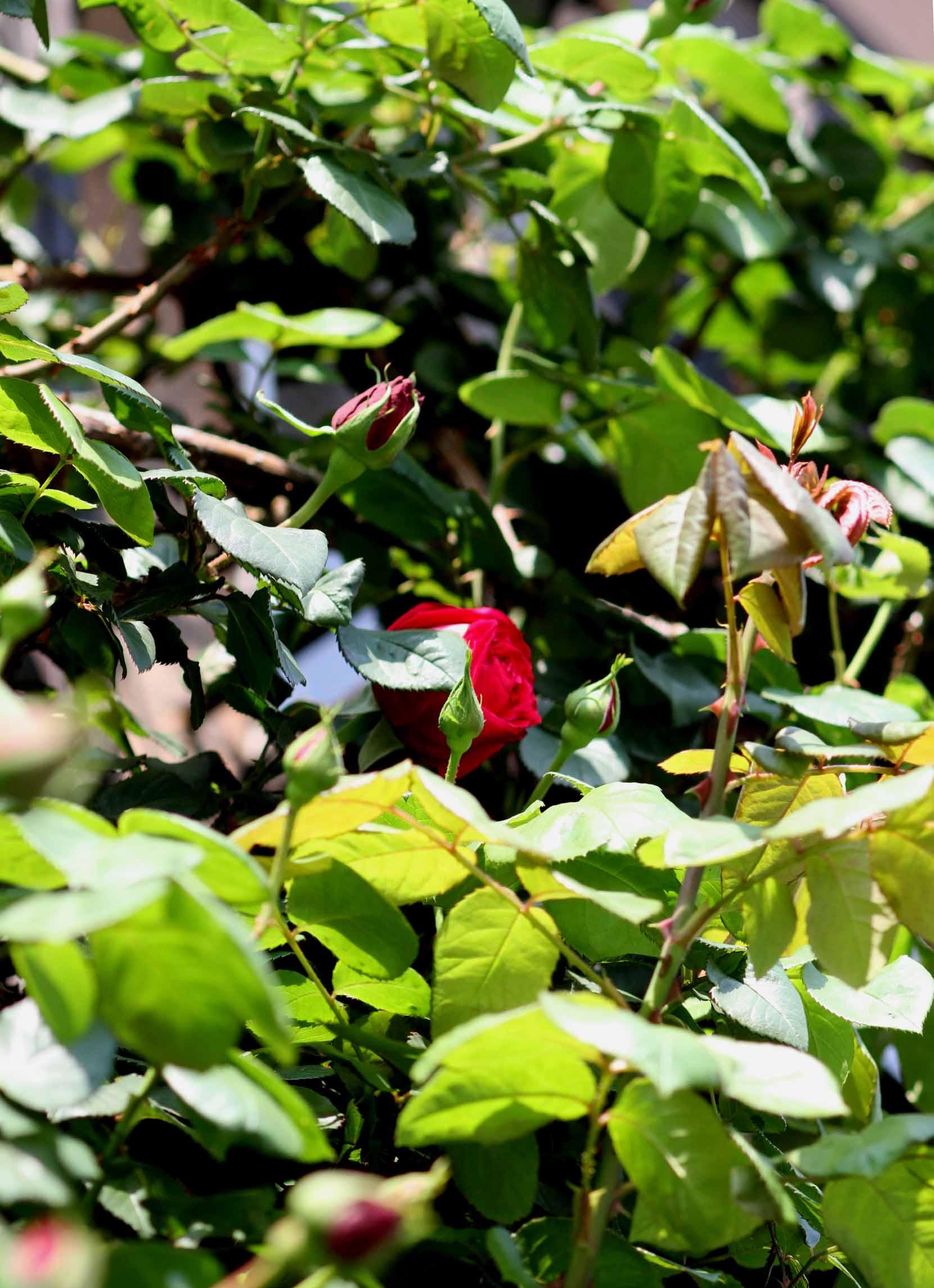 バラの花と蕾 0415(2)