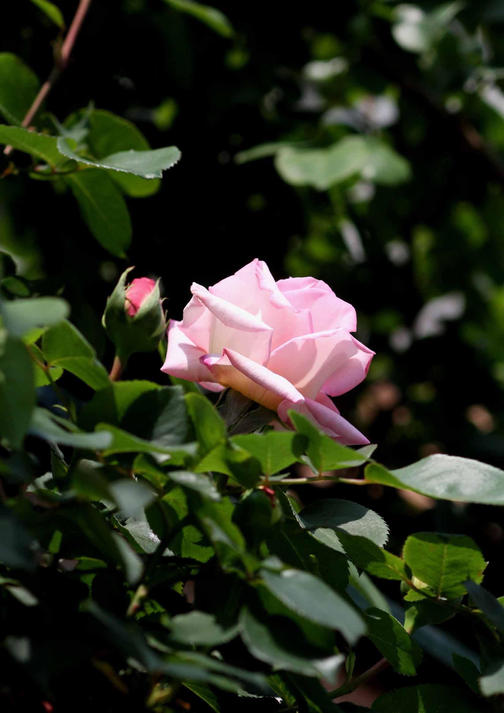 バラの花と蕾 0415(3)