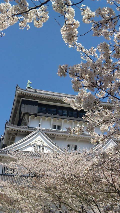 小倉城のサクラ