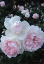 ピンクの薔薇アップ