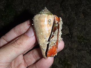 カーミージー貝さがし-06