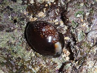 カーミージー貝さがし-18