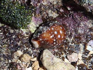 カーミージー貝さがし-22