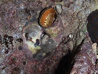 カーミージー貝さがし-23