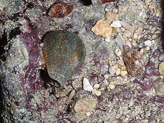 カーミージー貝さがし-24