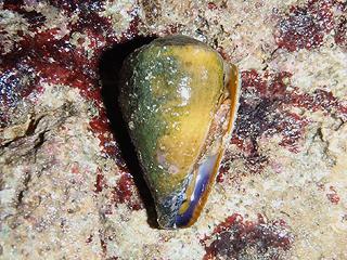 カーミージー貝さがし-25
