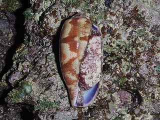 カーミージー貝さがし-27