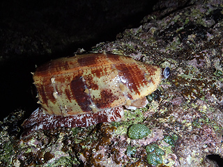 カーミージー貝さがし-28