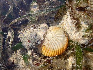 二枚貝を遅うシオボラ01