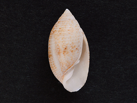 カヤノミガイ02-腹面