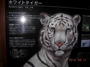 ホワイトタイガー①