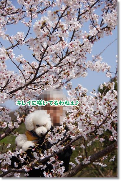 桜 満開♪2