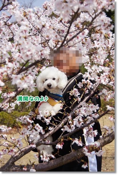 桜 満開♪3