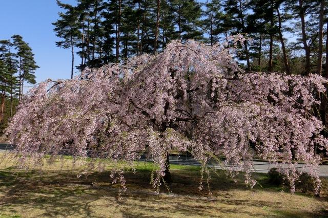 スパティオ小淵沢の枝垂れ桜