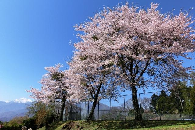 先達城址の桜と残雪の甲斐駒ケ岳