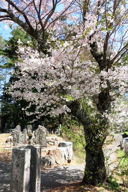 先達城址の桜(先達公民館)